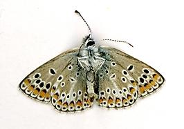 Aricia agestis Col du Serre 300316 MD(2)