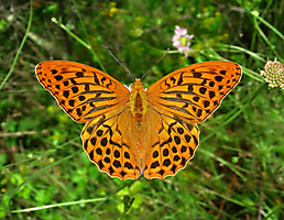 A. paphia Flassans 080616 (1)