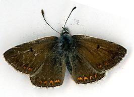 Aricia agestis Col du Serre 300316 MD(1)