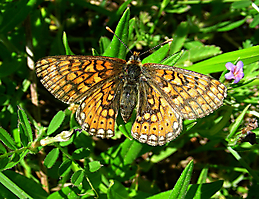 Euphydryas aurinia Bras 040516 (5)
