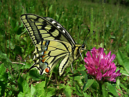 Papilio machaon Bras 040516 (4)