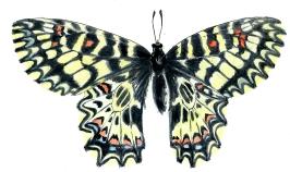 Zerynthia polyxena  la Diane