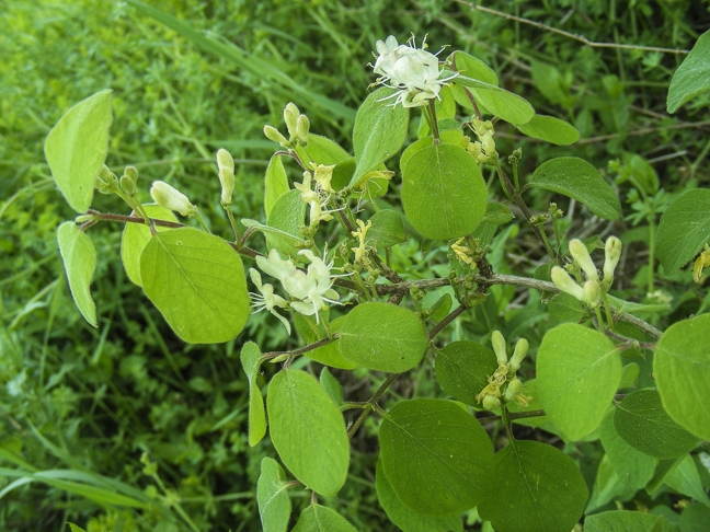 Lonicera xylosteum Trigance